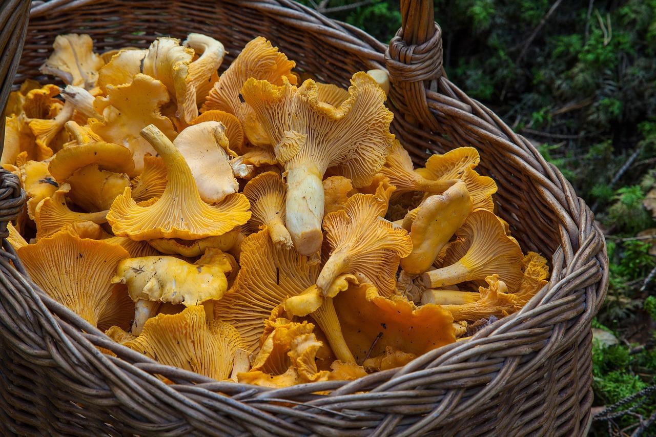 Pilze sammeln in Nürnberg und Umgebung im Herbst.